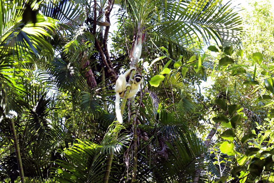 Den sjenerte Sifaka-lemuren slenger seg nærmest lydløst fra gren til gren, og kan hoppe nesten ti meter om gangen. Foto: Thor Steinhovden.
