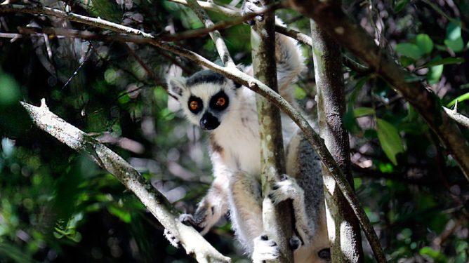 Lemurer-hovedbilde